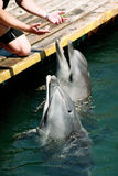 Singing dolphins Royalty Free Stock Images