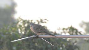 Singing dove on TV antenna stock video footage