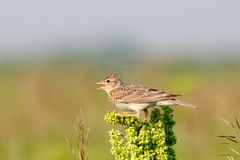 Singing Eurasian Skylark in the meadow Royalty Free Stock Photography
