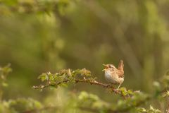 Singing eurasian wren. This is a photograph of a eurasian wren singing for the audience royalty free stock photography