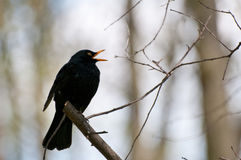 A singing European Blackbird (Turdus merula). Sitting on a branch Stock Photo