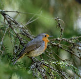 Singing European robin bird Royalty Free Stock Photos