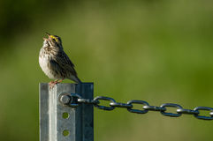 Singing even when chained. Savanah Sparrow (Passerculus sandwichensis) singing. Washington Stock Photography