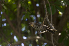 Singing female Red-winged Blackbird. Red winged Blackbird singing on a tree branch Stock Photo