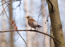 Singing fieldfare in spring Stock Photo