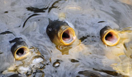 Singing Fish. Three Koi carp fish with heads out of water and mouths open as though signing Stock Photography