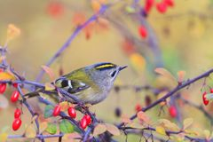 Singing forest bird among red berries Stock Image