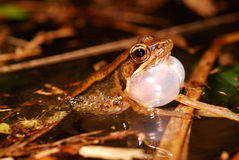 Singing Frog in Pond Stock Photography