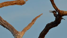 Singing giant kingfisher. A singing giant kingfisher on one of kariba's dead tree forest Royalty Free Stock Photos
