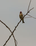 Singing Goldfinch Royalty Free Stock Images
