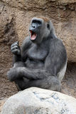 Singing Gorilla. Female Lowland Gorilla Sitting On Rocks With Open Mouth royalty free stock images