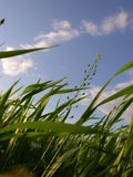 Singing Grass. Lying between growing high grass is always a special feeling of endless freedom Royalty Free Stock Image