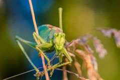 Portrait of big grasshopper. The singing grasshopper looking attentively at camera Stock Image