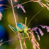 Portrait of big grasshopper. The singing grasshopper looking attentively at camera Stock Photo