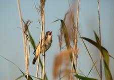 Singing Great reed-warbler (Acrocephalus arundinaceus) Royalty Free Stock Image