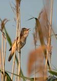 Singing Great reed-warbler (Acrocephalus arundinaceus) Royalty Free Stock Photo