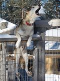 Singing husky on the fench Stock Photos