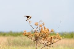 A singing lark. Male lark on the top of the branch. In search of a couple Stock Photo