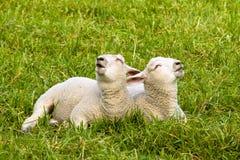 Singing lumbs Stock Image