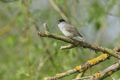 A singing male Blackcap Sylvia atricapilla perched in a tree. Royalty Free Stock Image