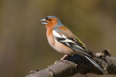 Singing male chaffinch. (Fringilla coelebs) sitting on a tree branch in spring forest Stock Photos
