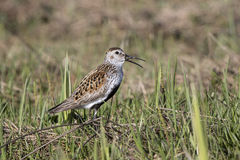 singing male Dunlin in the marshy tundra Bering Royalty Free Stock Photography