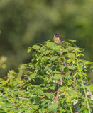 Singing male European Stonechat. A male European Stonechat (Saxicola rubicola) has chosen a spiny bush to defend it's territory with strong singing and beating Royalty Free Stock Photo