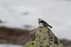 A singing male Snow Bunting Plectrophenax nivalis in summer plumage,  high up in the Scottish mountains with a background of Sno Stock Photos