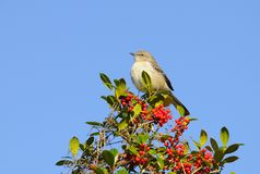 Singing Mockingbird Stock Images