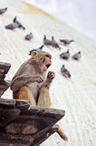 The singing monkey, Nepal Stock Images