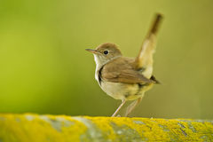 Singing Nightingale stock photography