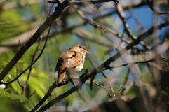 Singing nightingale. Lighted up a sun in the jungles of bush in close proximity of nest stock images