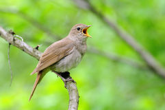 Singing nightingale against green background. Singing Thrush nightingale (Luscinia luscinia) against green background. Near Moscow, Russia Stock Photo
