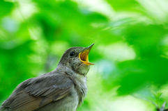 Singing Nightingale against the green leaves backgound. Singing Thrush Nightingale (Luscinia luscinia) against the green leaves backgound. Near Moscow, Russia Royalty Free Stock Images