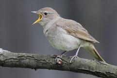 Free Singing Nightingale Against Grey Background Stock Images - 60602684