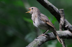 Singing nightingale in dark forest. Close view of singing Thrush nightingale (Luscinia luscinia). Near Moscow, Russia Stock Photo
