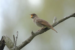 Singing nightingale on dry branch. Singing Thrush nightingale (Luscinia luscinia) on dry branch. Near Moscow, Russia Stock Photos