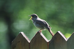 Singing Nightingale on the fence. Loud song appealing for a partner from Thrush nightingale (Luscinia luscinia Stock Photo