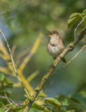 Singing Nightingale Stock Image