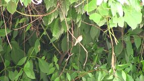 Singing of a nightingale stock video footage