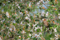 Singing Nightingale. Thrush nightingale. Stock Photography
