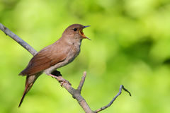 Singing Nightingale. Thrush nightingale. Stock Photo