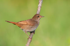 Singing Nightingale. Thrush nightingale. Royalty Free Stock Images