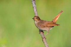 Singing Nightingale. Thrush nightingale. Royalty Free Stock Photography