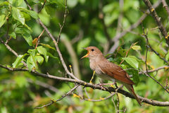 Singing Nightingale. Thrush nightingale. Bird Stock Photography