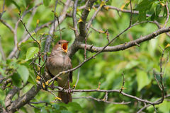 Singing Nightingale. Thrush nightingale. Bird Stock Photos