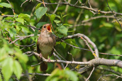 Singing Nightingale. Thrush nightingale. Stock Images