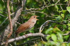 Singing Nightingale. Thrush nightingale. Royalty Free Stock Photo