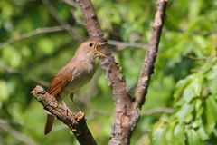 Singing Nightingale. Thrush nightingale. Bird Royalty Free Stock Photography