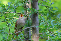 Singing Nightingale. Thrush nightingale. Bird Royalty Free Stock Photo